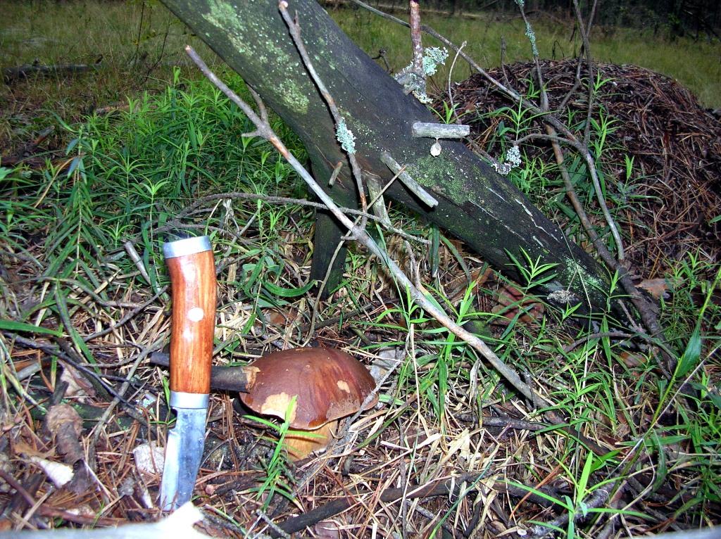 гриб ореховик фото и описание как приготовить