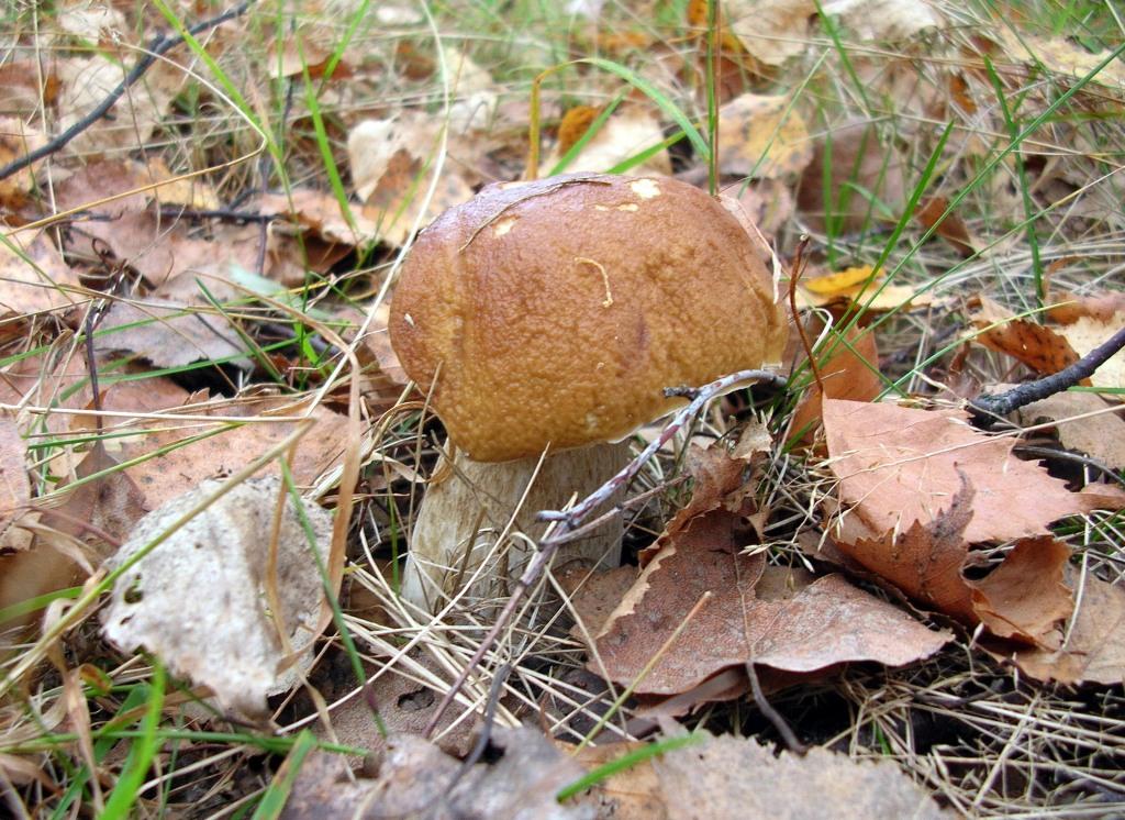 Как выглядит белый гриб фото и описание - 8b191