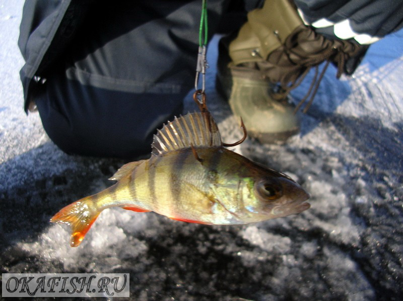 рыбалка как правильно насаживать живца