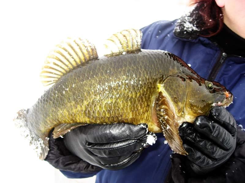 http://okafish.ru/pages6/foto/rotan1.jpg