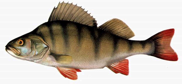рыба окунь фото