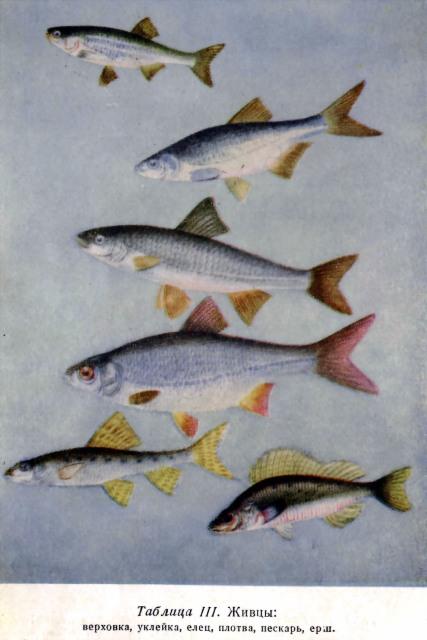 ...ерш, либо молодь более крупных рыб - елец, плотва, окунь, карась.