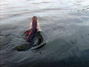 Щука сопротивляется рыболову